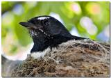 Willy Wagtail Nesting.jpg