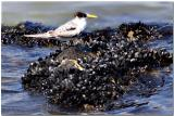 Young Tern