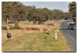 Grazing Emu