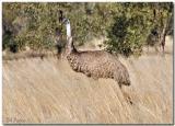EMU in the wild.