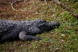 Nile croc...lots of teeth!