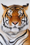 Tiger Dignity