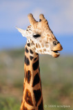 Giraffe Laugh