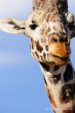 Giraffe Stare Down