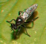 Robberfly 6607.jpg