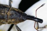 Snout beetle 0975 crop (V53)