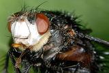 Large fly 2290 100% crop (V59)