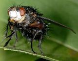 Large Tachinid fly 2290 (V59)