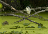 Black-crowned Night Heron 46
