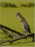 Green Heron Preening 33