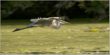 Great Blue Heron in Flight 83