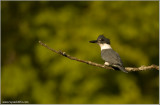 Belted Kingfisher 41