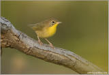 Common Yellowthroat - Juv. male 17