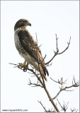 Redt-tailed Hawk 194