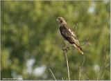 Redt-tailed Hawk 195