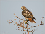 Red-tailed Hawk 197