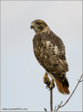 Redt-tailed Hawk 199