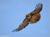 Red-tailed Hawk in Flight 200