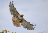 Red-tailed Hawk in Flight 201
