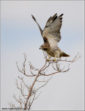 Red-tailed Hawk 203