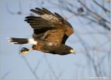 Harris Hawk  (captive)