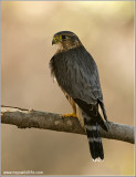 Merlin   (captive)