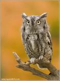 Screech-owl  (captive)