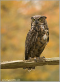 Great-horned Owl   (captive)