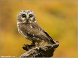 Northern Saw-whet Owl   (captive)