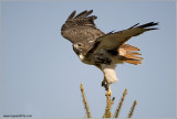 Red-tailed Hawk in Flight 206