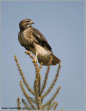 Red-tailed Hawk 207