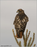 Red-tailed Hawk 208