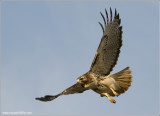 Red-tailed Hawk in Flight 210