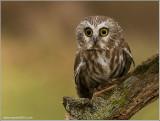Northern Saw-whet Owl   (captive)