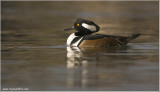 Hooded Merganser -m