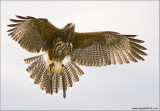 Dave House's Harris Hawk  (captive)