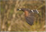 Rob Boyd's Harris Hawk  (captive)