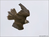 Goran's Saker Falcon    (captive)
