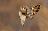 Kestrel  ... Thanks to Scott Linstead! 57