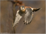 American Kestrel flight 59
