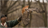 Goran's Red-tailed Hawk with Dion on the glove  (captive)