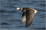 Femaled Long-tailed Duck 25