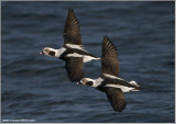 Long-tailed Ducks 27