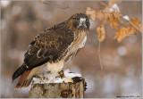 Gorans Red-tailed Hawk  (captive)