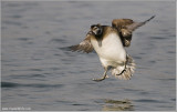 Female Long-tailed Duck Incoming 29
