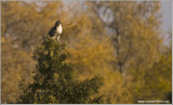 Red-tailed Hawk 214