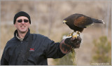 Goran's Harris Hawk  (captive)