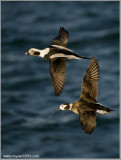 Long-tailed Ducks in Flight 33