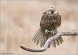 Faris's Sakeret Falcon   (captive)