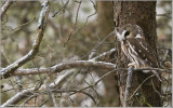 Northern Saw-whet Owl 15